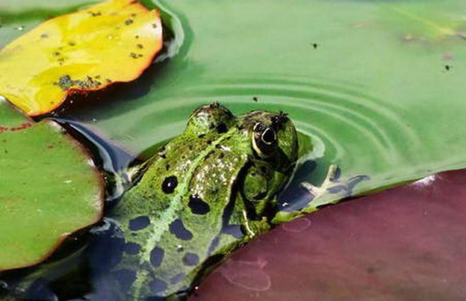 RC017 Frosch mit Fliegen