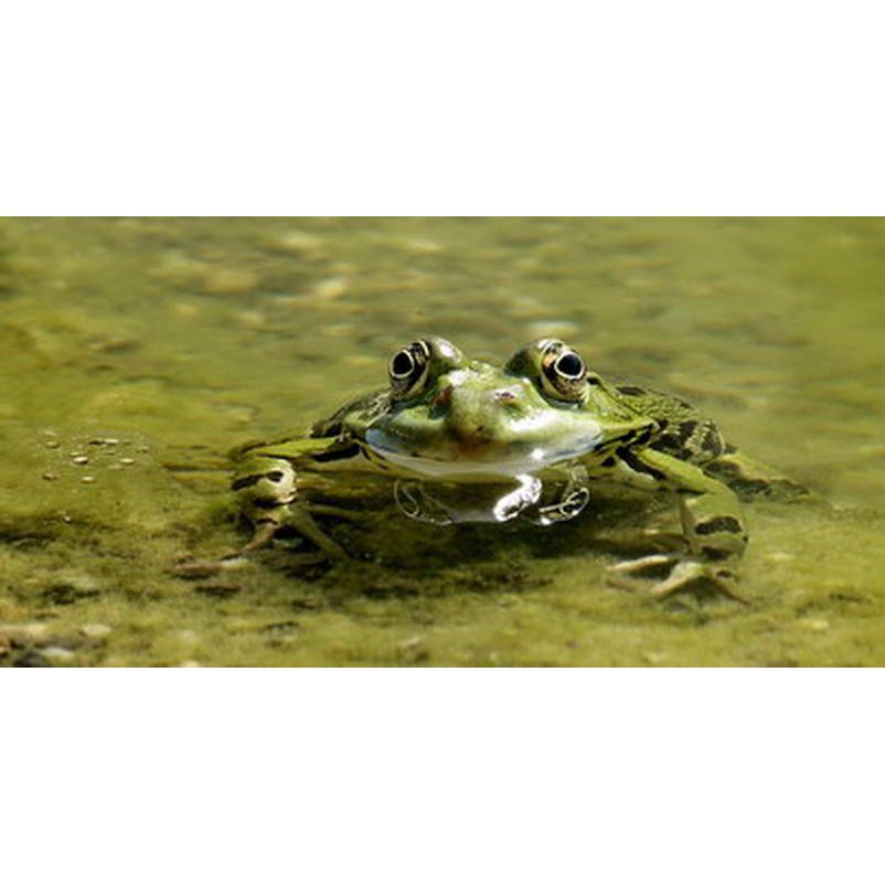 RC001 Oskar der Frosch