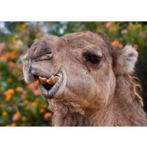 RC027 Kamel