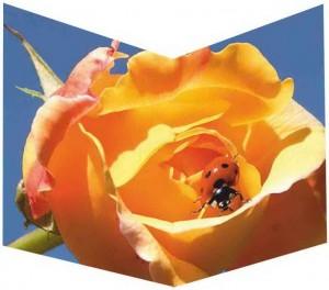 RC037 Glück auf Rose
