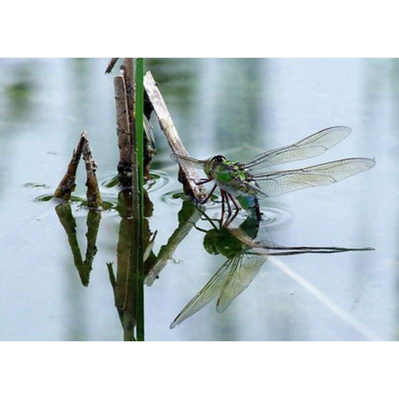 RC004 Libelle bei der Eiablage