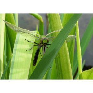RC008 Libelle im Grün